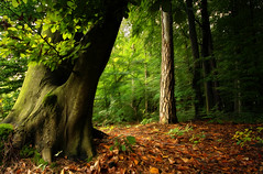 Forest (tom.sk) Tags: forest woodland tree green leaves brown