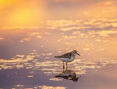 Sandpiper Sunset (Tracy Munson Photography) Tags: bayoffundy canada newbrunswick watersidebeach birding birdwatching magichour migration nature sandpiper shorebird sunset wadingbird wildbird