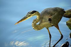 The Fish Thief (MTSOfan) Tags: heron greatblueheron lake fishing hunting bird aquatic schnecksvillepa