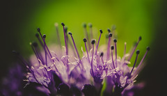 Purple & Green.. (Emma Yeardley) Tags: purple green flowers flora floral pretty macro macrophotography closeup nikon d7500 40mm dof bokeh