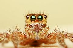 Housefly catcher (kampang) Tags: plexippuspaykulli houseflycatcher lumiquest
