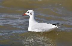 Seagull (kokmeeuw) (moniquedoon) Tags: seagull birds meeuw water wildlife