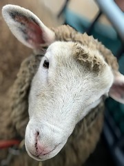 252:365 Up close & personal (amp'ed) Tags: sheep 365the2018edition 3652018 day252365 09sep18 face head