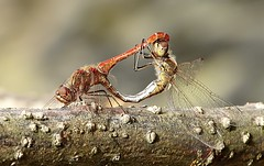 Vagrant darter mating (siegfriedpotrykus) Tags: dragonfly vagrantdarter mating sympetrum