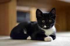 _DSC9746 (Raphistole) Tags: kitty cat chat chaton d7000 50mm f14 nikon nikkor bokeh
