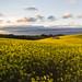 Canola Fields, Tasmania