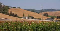 Field of Dahlias (Steven P. Moreno) Tags: petalumacalifornia flowers stevenpmoreno dahlia nature stevenmorenospix2018 northerncalifornia sonomacounty hill outdoor