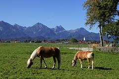 Idylle (didibild) Tags: gras tiere pferde berge landschaft ostallgäu schwangau bayern deutschland