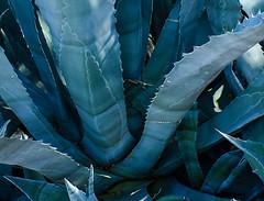 Arizona Cacti (trident2963) Tags: cactus cacti arizona region artistic black white bw fine art closeshot