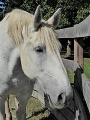Wheaton, IL, Danada Forest Preserve, White Carriage Horse (Mary Warren 11.2+ Million Views) Tags: wheatonil danadaforestpreserve nature park fauna animal mammal white horse