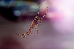 arachnophobic? (maxkluger) Tags: spider spinne makro lenswhacking freelensing nature colour kreuzspinne garden gardenspider crossspider cross netz 50mm canon 100d nikon lens magenta tiltshift