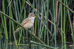 australasian reed warbler (crispiks) Tags: nikon d500 200500 f56 birdlife
