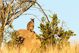 Allied Rock Wallaby (Petrogale assimilis)