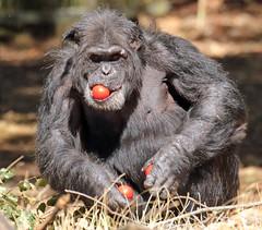 chimpanzee Burgerszoo JN6A2623 (j.a.kok) Tags: chimpansee chimpanzee animal africa afrika aap ape pantroglodytes mammal monkey mensaap primate primaat zoogdier dier burgerszoo burgerzoo