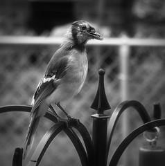 Blue Jay With Seeds-HMBT! (ITS APPLE HARVEST FESTIVAL!) Tags: monochromebokehthursday bluejay feeding seeds mouth blackandwhite monotone monochrome inthebackyard bird large topaz