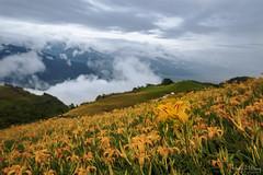 六十石山金針花海 (Hong Yu Wang) Tags: sony a73 a7iii a7m3 1224g taiwan 六十石山 金針花 goldenneedleflower daylily