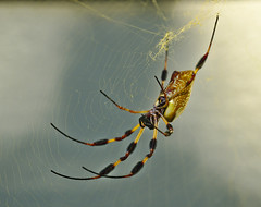 Golden Protector (heric09) Tags: spider orbweaver nature
