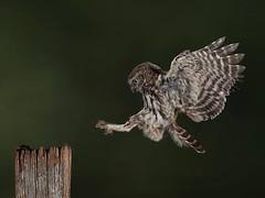 Owlet in flight (roy rimmer) Tags: