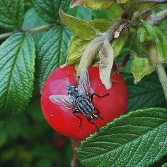 Splayed Feet on Rose-hip. Flesh-fly, Sarcophaga sp., on Rosa canina, Dog Rose, Gaasperplaspark, Amsterdam, The Netherlands (Rana Pipiens) Tags: fly dambordvlieg sarcophagasp fleshfly rosacanina dogrose checkerboard gaasperplasparkamsterdamthenetherlands rex rosehip insect