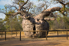 Boab Prison Tree (cheezepleaze) Tags: boab prison tree fence kimberley hff westernaustralia prisontree