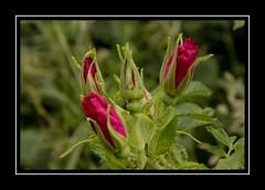 Four rose buds (Audrey A Jackson) Tags: canon60d rosebuds nature garden