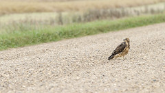 On the Road Again (Don Arsenault) Tags: bird nature hawk alberta canoneos7d canada canonef70200mmf28lisiiusm donarsenault