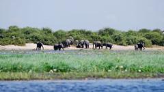 Elephants on the Chobe River (C McCann) Tags: botswana chobe chobenationalpark elephant elephants mammals mammal animal animals herd group wild wildlife africa