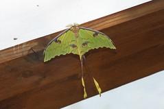 Argema mimosae (douneika) Tags: argema mimosae falena moth