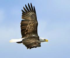 Bald Eagle Over Cedar Lake (Vidterry) Tags: eagle baldeagle maturebaldeagle baldeagleinflight cedarlake
