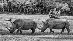 High Risk Follow-The-Leader (gecko47) Tags: animals mammals rhino bw monochrome whiterhinoceros australiazoo beerwah horns sharp singlefile risky ceratotheriumsimum