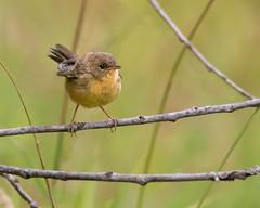 Common Yellowthroat (dennis_plank_nature_photography) Tags: avianphotography commonyellowthroat ridgefieldnwr birdphotography naturephotography ridgefield wa avian birds nature
