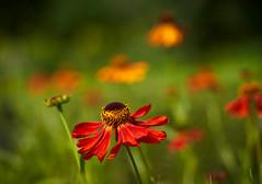 Helenium (tonybill) Tags: august flowers gardens hampshire miscellaneous places sonya7riii sunshine voigtlanderapolanthar65mmf2 westgreenhouse bokeh garden