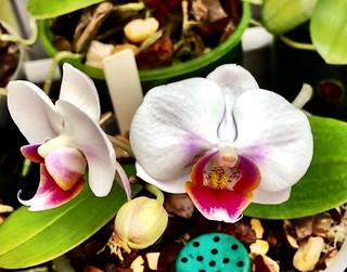 Phalaenopsis (Mount Lip x Brother Pekoe)