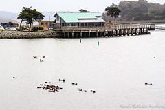 Sea Otters! (adventurousness) Tags: ca california highway 1 ocean sea otters harbor road trip animals moss landing pacific coast highway1 mosslanding pacificcoasthighway pacificcoast seaotters roadtrip unitedstates us