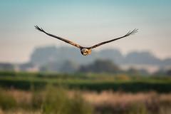 Marsh Harrier (Richard J Hunt) Tags: canon700d wildlife nature birdwatching bird hunting marshharrier luntmeadows flight bif