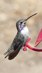 New Silky Gorget Feathers on a Male Costa's Hummingbird (Ramona Pioneer Girl) Tags: hummingbird ground dirt purple feathers green birds feeder red pollen nectar nature bokeh costas costashummingbird costashummingbirdshummingbird hummingbirdanimal hummingbirds hummingbirdfeeder hummingbirdfeeding bird hummingbirdorganismclassification hummingbirdnest hummingbirdnectar slowmotionhummingbirds factsabouthummingbirds hummingbirdfun hummingbirdfly hummingbirdbaby hummingbirdbath hummingbirdfood hummingbirdeggs hummingbirdlove hummingbirs hummingbirdtonge hummingbirdsound hummingbirdeating hummingbirdsnores naturaleza day sunny daylight light bright gorget fliers flier flies fly camera panasonic lumix lumixfz300 fz300 pose flight kodak kodakmoment naturephotography costa costahummingbird bearded gray grey tan 500 views