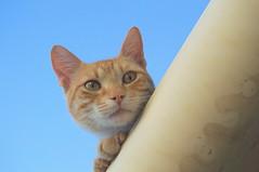 El Gato de la Casa 11 (Tomás Hornos) Tags: gato cat retrato d3200 mascota gatino katzen cats callejeros showfoto digikam rawtherapee gatoeneltejado ojosdegato eyescat