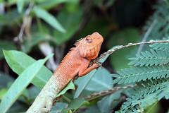 Oriental garden lizard (Calotes versicolor) - Kanchanaburi, Thailand 2018 (Dis da fi we) Tags: oriental garden lizard calotes versicolor kanchanaburi thailand