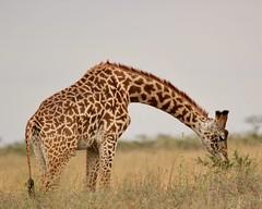 Arch (Nagarjun) Tags: maasaigiraffe nairobinationalpark kenya wildlife