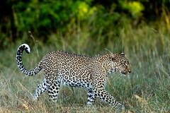 Leopard (Waitandshoot - Alexandre & Chloé Bès) Tags: afrique africa safari bird mammifère mammal lion leopard rhino oiseaux canon sigma kenya masai hyene animal pelouse ours forêt arbre panther cat feline paysage oiseau eau
