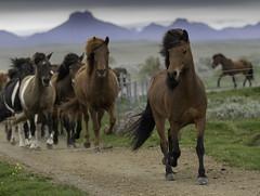 Horse trip from last summer (Anna.Andres) Tags: 13ágú 2018 hestaferðingullhringurinn hestahópurinn myrkholt árnesýsla hestar hestaferð horsetrip horses íslenskihesturinn iceland ísland annaguðmundsdóttir amimal