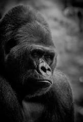 Gorilla-Porträt 2 (maik_sen) Tags: gorilla porträt portrait animal tier tiere animals natur nature gesicht face eyes augen blackwhite black white schwarzweis monochrom monochrome blick looking zoo tierpark