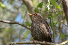 Female Blackbird. (Petera3015) Tags: female black birds rotorua newzealand
