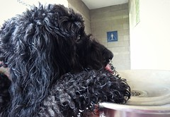 """Just me, getting a drink after our ball game...."" (Bennilover) Tags: drinkingfountain dog dogs labradoodle benni bennigirl black tongue ears curly paws cute mom love photoop soccerfield ball game 52weeksfordogs"