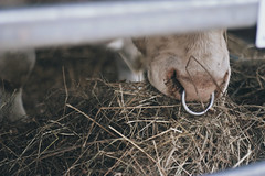 Hungry (Juraj Vancik) Tags: nose mammal animal bull farming farm meat rural head domestic ring cow pasture grass bovine nature muzzle country nosering farmland countryside ranch natural cows farmanimals angryanimal powerful bullring cage