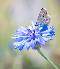 small butterfly on blossom (Danyel B. Photography) Tags: nature natur macro makro close flower blossom blüte blume bokeh butterfly schmetterling insect insekt