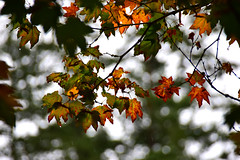 Autumn rain (James_D_Images) Tags: autumn fall leaves foliage maple green brown branches bokeh deciduous evergreen seasons rain