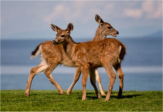 young Island deer