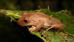 Rainfrog, Pristimantis eugeniae (Ecuador Megadiverso) Tags: amphibian andreaskay anura birdwatcherslodge ecuador frog mindo pristimantiseugeniae rainfrog