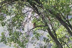 Austral Pygmy-Owl, Parque National La Campana, Chile November 2012 (Sterna999) Tags: australpygmyowl glaucidiumnana kulíšekpatagonský australzwergkauz patagonskspurveugle mochuelopatagón parquenationallacampana chile birdsofchile chilean bird aves vogel madár eule